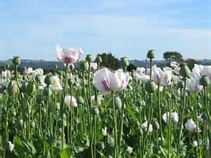 buy opium poppy herbal medicine picture 5