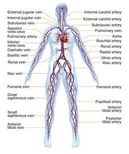 blood vessels and circulation picture 21