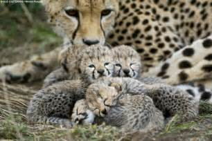 do cheetahs sleep picture 2