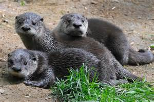baby river otter diet picture 10