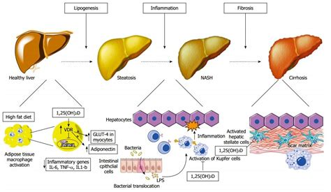 functions of the liver picture 5
