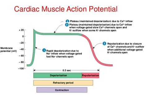 does ecg directly measure action potentials in muscle picture 15