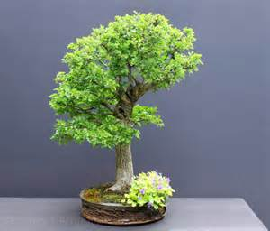 bonsai hawthorn picture 2