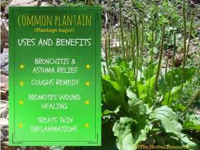 benefits of plantain herb picture 2