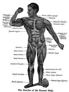 diagram of body muscle picture 21