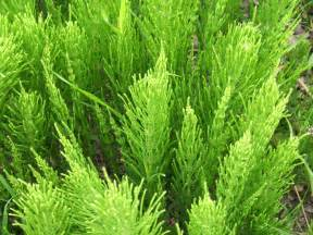search : wikipedia for horsetail herb picture 10