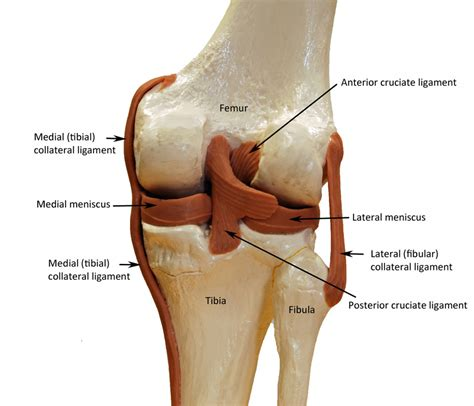 anatomy of a knee joint pictures and labels picture 1
