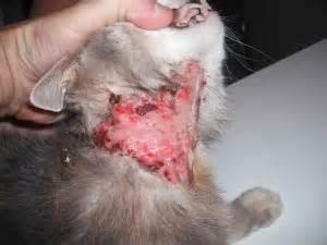 persian cat skin diseases picture 9