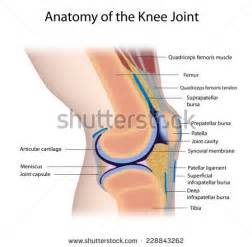 diagram of knee joint plavic band picture 3