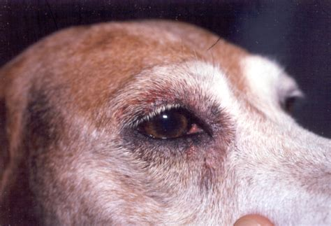 canine skin disease picture 1