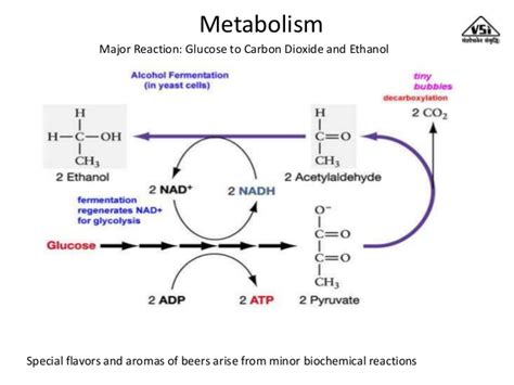 yeast metabolism picture 6