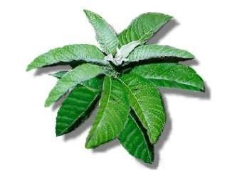 filipino herbal remedies picture 11