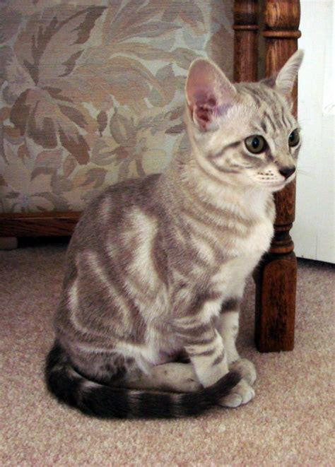hair loss in kittens picture 6