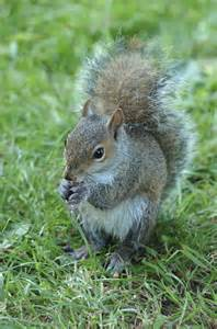 picture of squirrel h picture 11