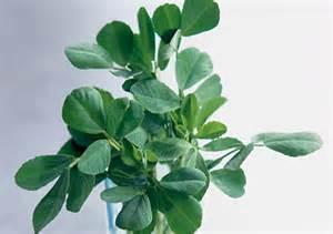 fenugreek herb picture 1