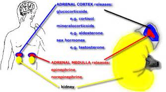 affects of aging on the adrenal cortex picture 1