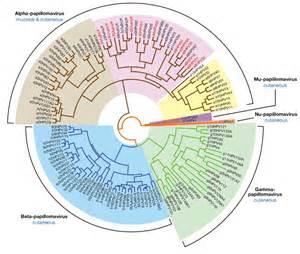 human papilloma virus classification picture 2