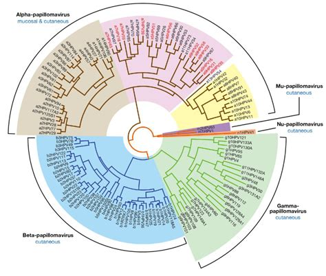 human papilloma virus baltimore classification picture 2