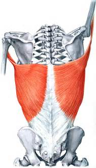 latissimus muscle picture 2