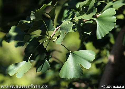 what can you use ginkgo biloba picture 2