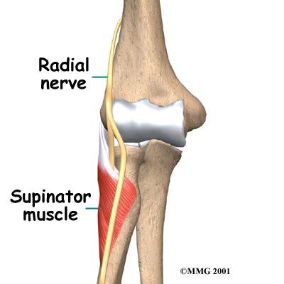 flexor carpi radialis muscle picture 13