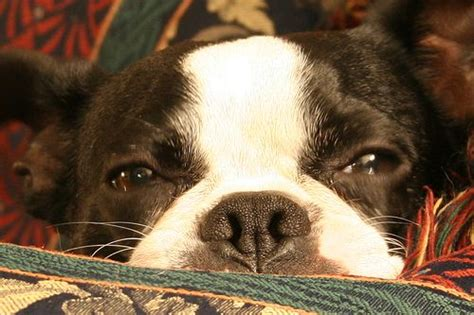 bladder infection in boston terrier picture 9
