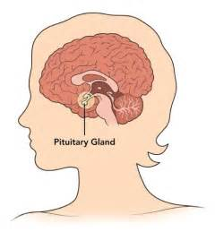 pituitary body picture 9