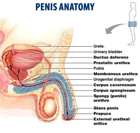 anatomy & physiology penis picture 1