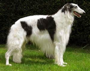 borzoi and short hair picture 10