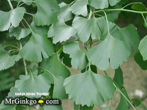 buy male ginkgo tree picture 5