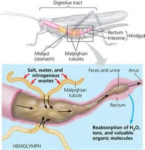 chelicerata locomotion digestion circulation respiration excretion picture 11