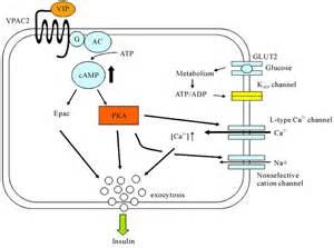 vasoactive intestinal polypeptide picture 14