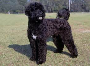 portuguese water dogs health picture 3