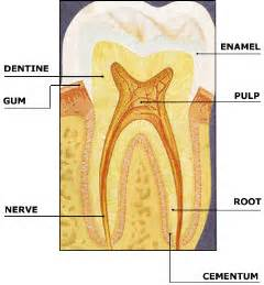 diagram of teeth picture 13