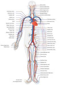 blood circulation in human picture 13
