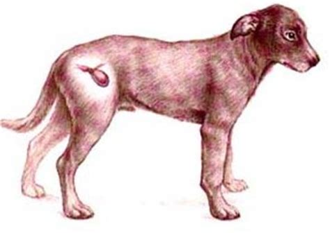 canine bladder infections holistic picture 10
