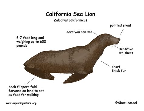 mountain lions diet picture 11