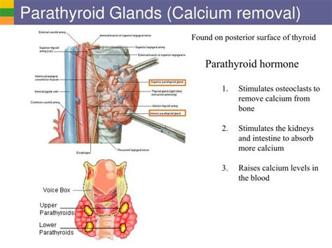 calcium and thyroid glands picture 17