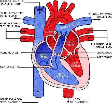 diagram blood flow through heart picture 1