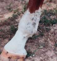 flaky skin on horses picture 9
