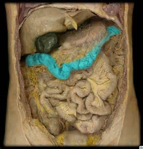 transverse colon pictures picture 3