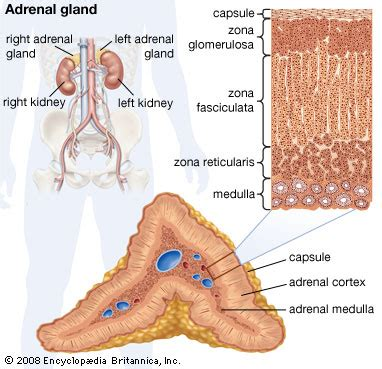 aging and adrenal cortex picture 17