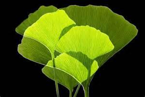 ginkgo leaf picture 6