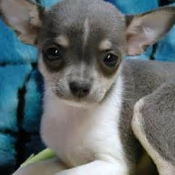 how do you clean chihuahua puppies' h picture 5