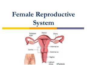 jakol i male reproductive systems picture 10