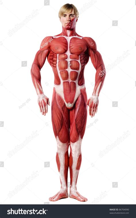 anatomy - muscle man kikkerland picture 5