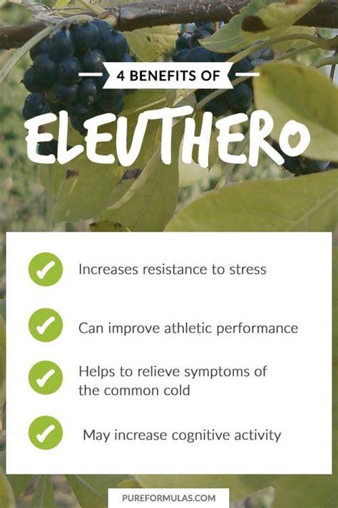 siberian eleuthero health benefits picture 1