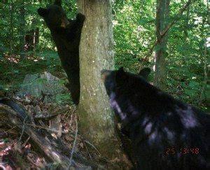 adirondack black bear sleep habits in spring picture 1