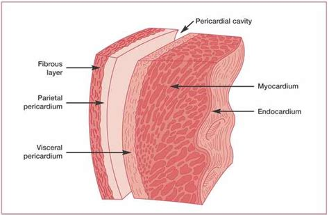 cardiac muscle as a syncytium picture 13