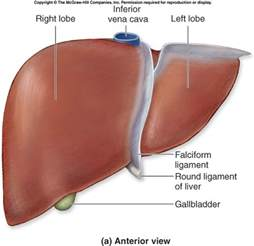 anatomy human liver picture 13
